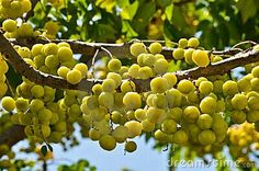 Grosellas,Puerto Rico fruits