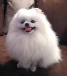 White pommie, Possibly, in my opinion, one of the world'a cutest small dogs, if not the cutest!