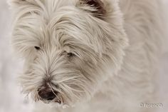 My westie dog: Zizu