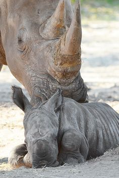 Southern White Rhinoceros calf at Tampa's Lowry Park Zoo