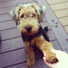 53. Terrier Galés | Es un perro alegre, inteligente, que le encanta divertirse y…