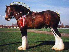 Shire... Not to be confused with a Clydesdale! Two separate breeds.