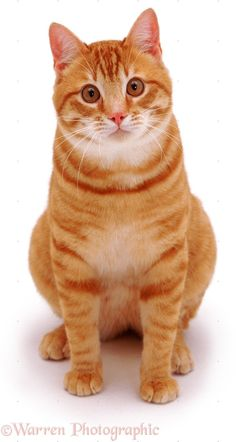 orange cats on white background - Google Search