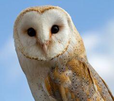 ハート型の顔がこのフクロウの特徴。世界中にもっとも幅広く分布していて、種類も多く、幽霊フクロウ、死のフクロウなど、22以上の別名をもつ。