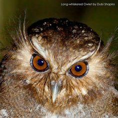 Long-whiskered Owlet (Xenoglaux loweryi)
