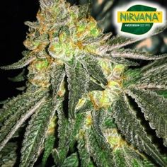 Cannabis Seeds For Sale, Seed Bank, Grease, Monkey, The Incredibles, Pure Products, Couch, South Africa, Parents