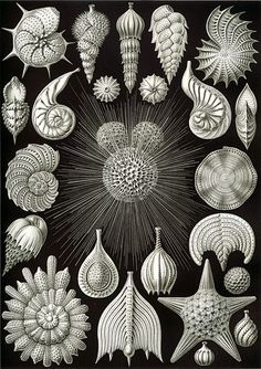 Pages and pages of free drawings for any use...beautifully detailed!  Kunstformen der Natur - Wikimedia Commons