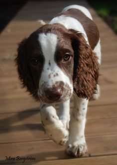 English Springer Spaniel Dog  Beautiful dog. I used to have a springer spaniel. Brandy was the BEST dog ever. If Alex and I ever get another puppy for company to Emma, I want a springer spaniel.