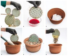 Guía básica para aprender a multiplicarlas - LA NACION Mini Cactus Garden, Succulent Gardening, Cactus Flower, Cacti And Succulents, Planting Succulents, Cactus Plants, Planting Flowers, Illustration Cactus, Propagating Cactus