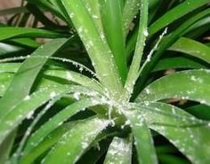 Cochenilles : lutte et traitement bio La cochenille farineuse est l'un des parasites les plus fréquents sur nos plantes d'intérieur. M...
