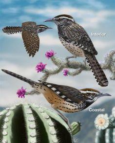 Cactus Wren - Whatbird.com