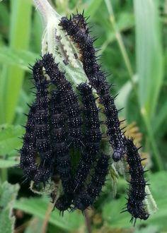 Peacock caterpillars