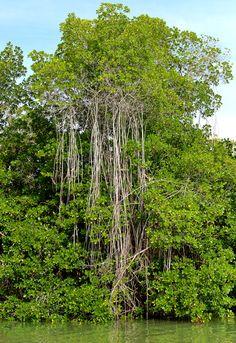 Mangrove forest along the Black River, Portland Bight, Jamaica.