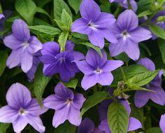 Shade plant-annual- Proven Winners-Endless Illumination- Browallia hybrid