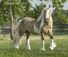 Gypsy Vanner Horses for Sale | Gelding | Buckskin & White| Tough Love He has two blue eyes!!! Beautiful!
