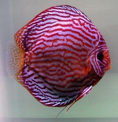 Diskusfisch Rot Türkis