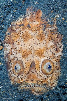 With eyes on the top of its head, a stargazer fish hides in the sand to hunt #WPYPeoplesChoice https://twitter.com/NHM_WPY/status/504273569439051777