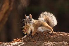 Endangered Mount Graham red squirrel numbers stable