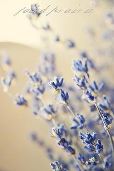 #lavender #flowers