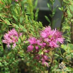 Fine-leaved bushy native shrub with purple-pink feathery flowers in summer-autumn. Good for screening and hedging, native gardens, wildlife gardens. Larger than the cultivar Cotton Candy, with slightly bluer leaves. Lilac Flowers, Orange Flowers, Spring Flowers, Pink Windmill, Dwarf Shrubs, Seaside Garden, Australian Plants, New Roots, Plants Online