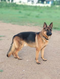Logan's dog Rumor Gsd Puppies, Cute Dogs And Puppies, Baby Dogs, Pet Dogs, Dog Cat, German Sheperd Dogs, German Shepherd Pictures, German Shepherds, Shepherd Dogs