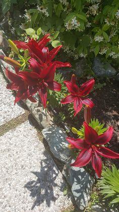 Giglio Blackout (Lilium asiatica)