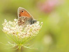 Falter heufalter Kleines Wiesenvögelchen Makro Schmetterling Wiese Wiesenvögelchen