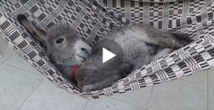 This adorable baby donkey from Brazil is having quite the relaxing time lounging around in his hammock. Clearly humans aren't the only ones who loves hammocks!