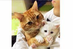 Favorite tweet by @GOLFNEKO // 子ネコを預かったら  先住ネコがぎゅーっと抱きしめて離さなくなっちゃった(Д) 4枚 http://55.sasanov.net/277L45q @PECO_japanさんから http://55.sasanov.net/24GKIR5