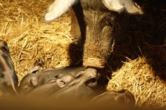 The mama pig noses her piglets.