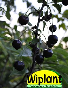 Prunus cerasus 'Chokladnaja', buskkörsbär. Ryskt buskkörsbär. Höjd: 2m. Mörkbruna bär. Självfertil. Zon I–IV(V). Tummanpunaruskea pensaskirsikka Venäjältä.