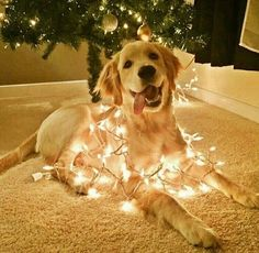 This golden retriever wrapped in festive lights. - Sanjo - This golden retriever wrapped in festive lights. This golden retriever wrapped in festive lights. Cute Puppies, Cute Dogs, Dogs And Puppies, Doggies, Small Puppies, Small Dogs, Animals And Pets, Funny Animals, Cute Animals