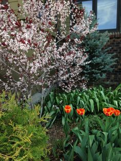 Spring in the corner. Fat Albert Blue Spruce, Purple Leafed Sand Cherry, Tulips and Globe Arborvitae.