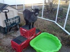 Goat toys. zip tie crates together to make steps to climb on. Roofing Shingles wired to tops of steps act as emory boards for their hooves.