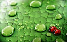 Raindrops and lady bugs on a leaf