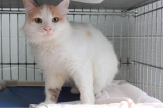 URGENT Meet Sassy Girl, a Petfinder adoptable Domestic Medium Hair Cat | Hopkinsville, KY | Hi my name is Sassy Girl and I am a 3 year old **SPAYED** female cat.  I was brought in by animal...