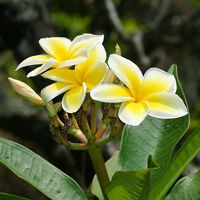 79 best yellow n gold flowers and plants images on pinterest yellow hawaiian flowers plumeria rubra frangipani mightylinksfo