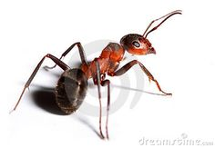 Big red ant.