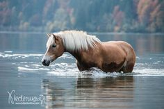 Haflinger - equine photography by Bettina Niedermayr Pferde