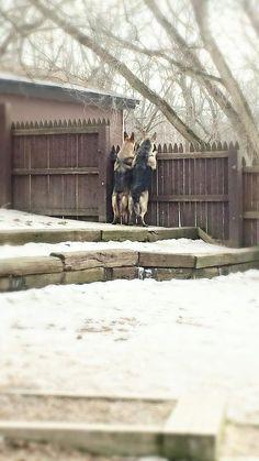 Solid Blue German Shepherd Pet Care Pinterest Wolves