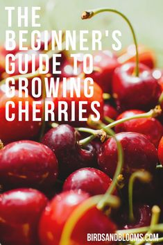 The Beginner's Guide to Growing Cherry Trees Planting Cherry Trees, Growing Cherry Trees, Cherry Fruit Tree, Growing Tree, Growing Plants, Growing Vegetables, Cherry Farm, Cherry Picking, Fruit Plants
