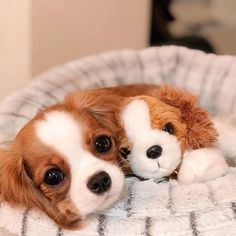14 Regal Facts About the Cavalier King Charles Spaniel Super Cute Puppies, Cute Baby Dogs, Cute Little Puppies, Cute Dogs And Puppies, Cute Little Animals, Cute Funny Animals, Doggies, Cavalier King Spaniel, Cavalier King Charles Dog