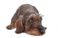 Wire haired Dachshund dog lying in front, isolated on a white background