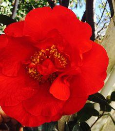 Camellia- Ted Craig
