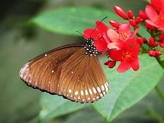MTBobbins Photography - Indian Crow Butterfly