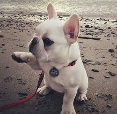French Bulldog Puppy at the Beach