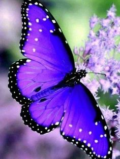 💖 🌾Thank you for the beautiful blue bird resting on pink flowers! Butterfly Photos, Butterfly Kisses, Butterfly Wallpaper, Purple Butterfly, Butterfly Flowers, Butterfly Wings, Pink Flowers, Butterfly Watercolor, Beautiful Nature Pictures