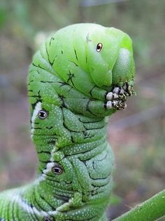 """Beautiful Wild animals pictures and Nature Photo Gallery ~ UNUSUAL THINGs cute animal pictures Tobacco Horn Worm Portrait by Julie Falk: """"Wh. Cool Insects, Bugs And Insects, Beautiful Creatures, Animals Beautiful, Unusual Animals, Regard Animal, Cool Bugs, Beautiful Bugs, Chenille"""