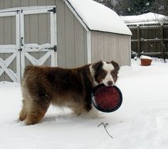 Amadeus likes the snow.and his flying disc. Flying Disc, Australian Shepherd, Snow, Dogs, Animals, Aussie Shepherd, Animales, Animaux, Pet Dogs