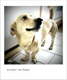 . My Works, Labrador Retriever, Dogs, Animals, Labrador Retrievers, Animales, Animaux, Pet Dogs, Doggies